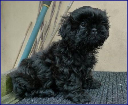 Dog Shih Tzu Black