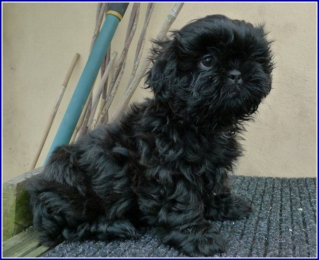 Dog Shih Tzu Black