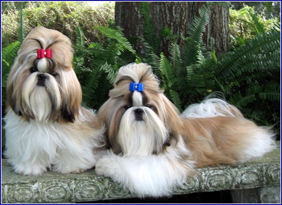 Dog Shih Tzu China