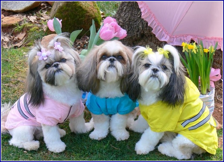 Dog Shih Tzu Pictures