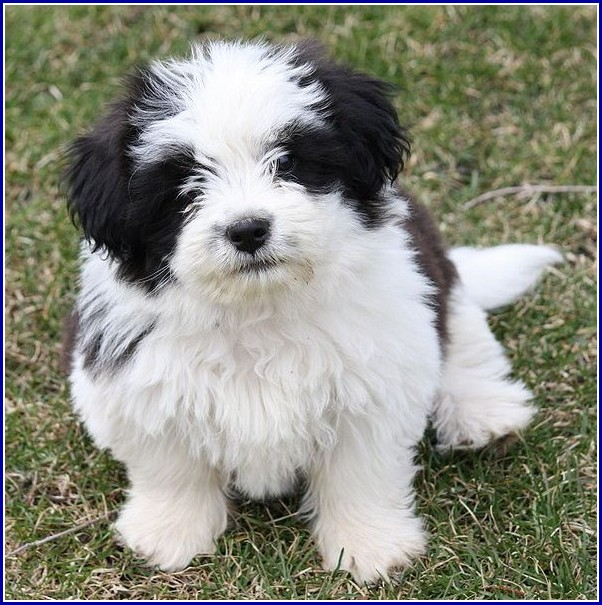 Dog Shih Tzu Puppies