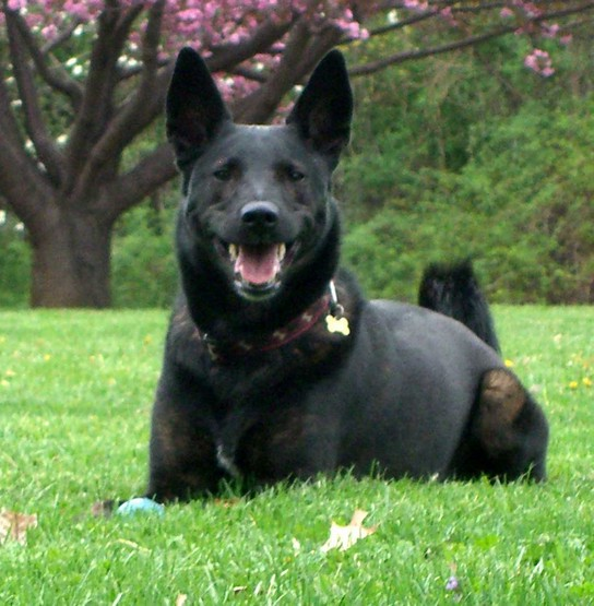 Dutch Police Dog Breeds
