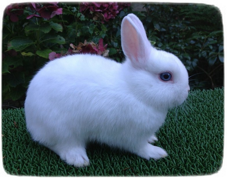 Dwarf Rabbits As Pets