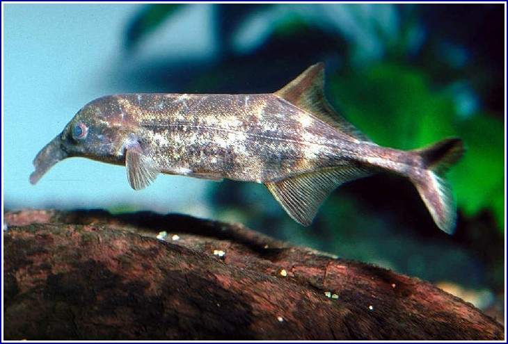 Elephant Nose Fish Images