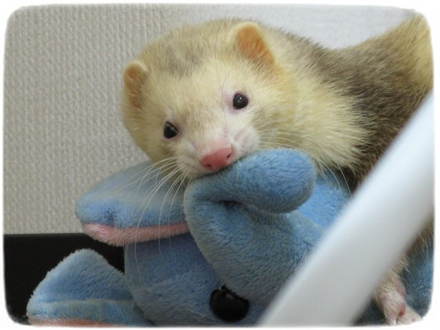 Ferrets As Pets In California