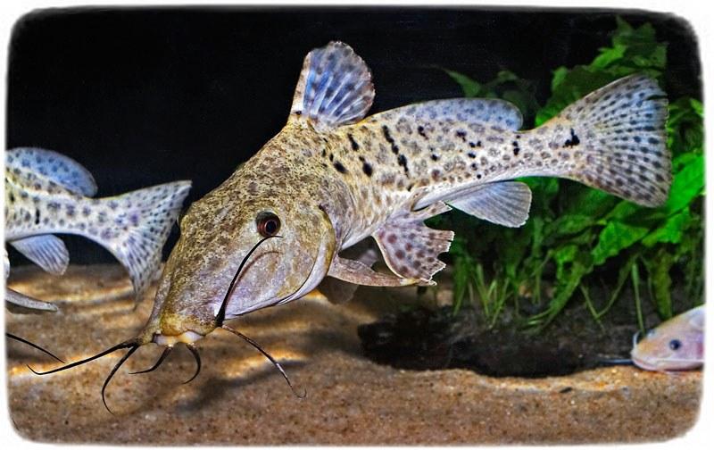 Freshwater Puffer Fish Australia