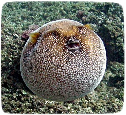 Freshwater Puffer Fish Species