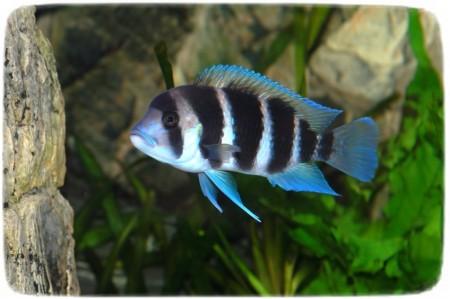 Freshwater Puffer Fish Tank