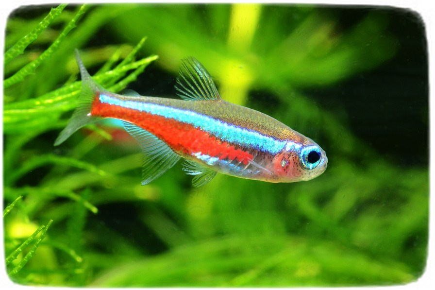 Freshwater Puffer Fish Types