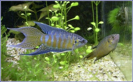 Freshwater Tropical Fish List With Pictures