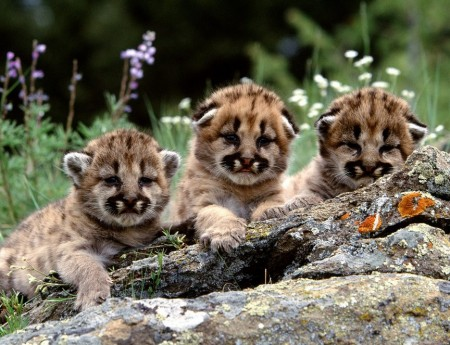 Funny Mountain Lion Pictures