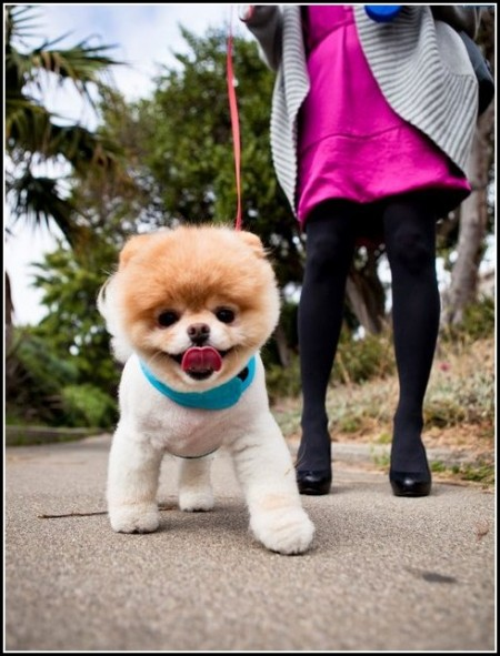 Funny Pictures Of Boo The Dog