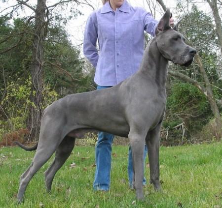 German Dog Breeds Weimaraner
