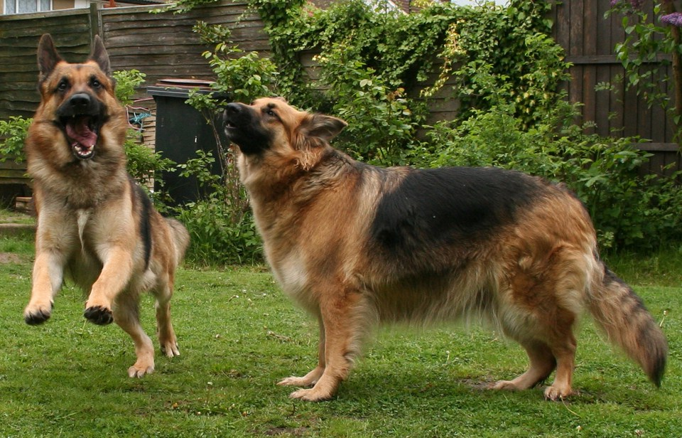 German Shepherd Police Dog Breeds