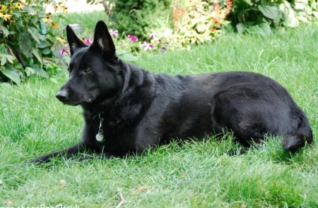 Giant German Dog Breeds