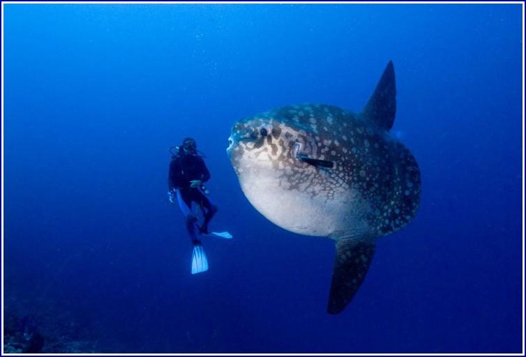 Giant Mola Mola Fish