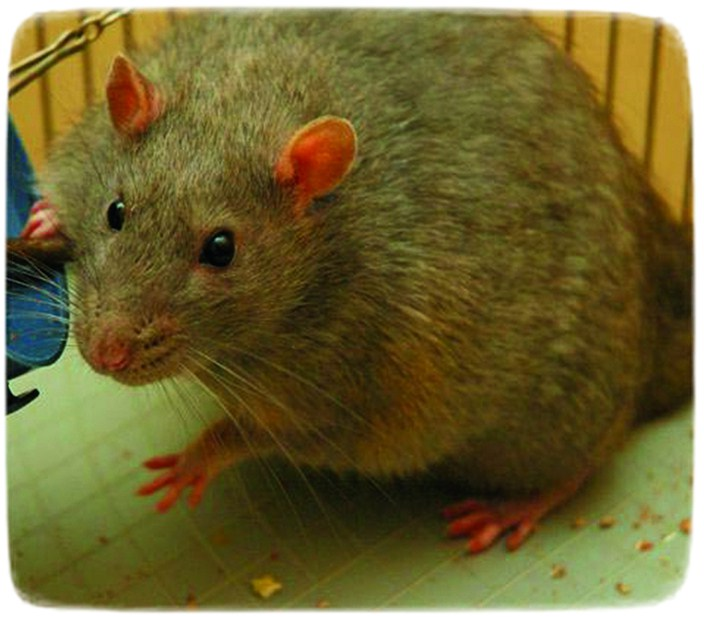 Giant Rats As Pets