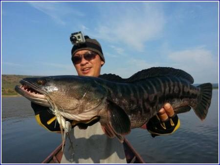 Giant Snake Head Fish