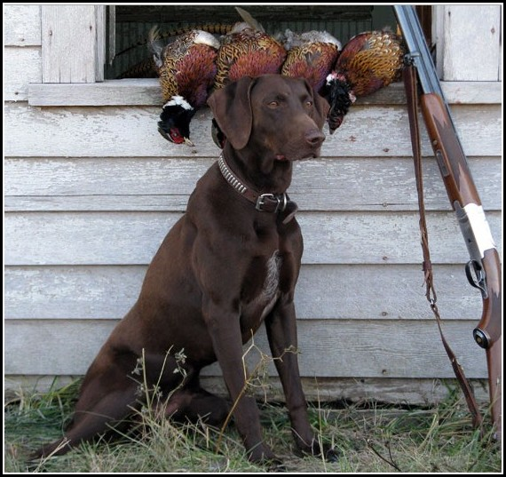 Good Bird Hunting Dogs