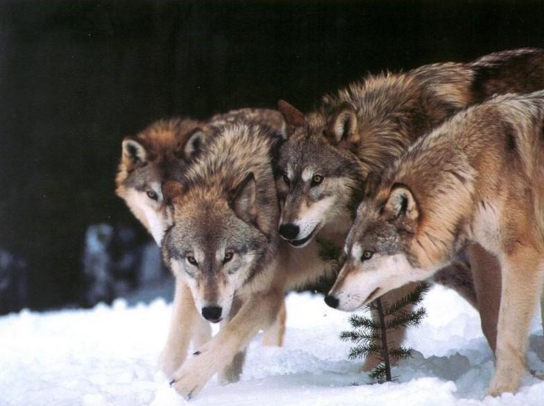 Gray Wolf Habitat Dens