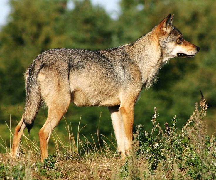 Gray Wolf Habitat For Kids