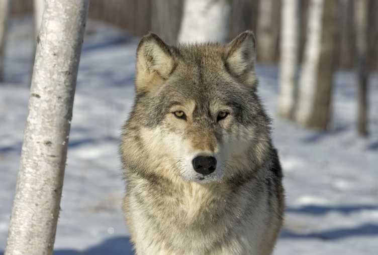 Gray Wolf Habitat Pictures