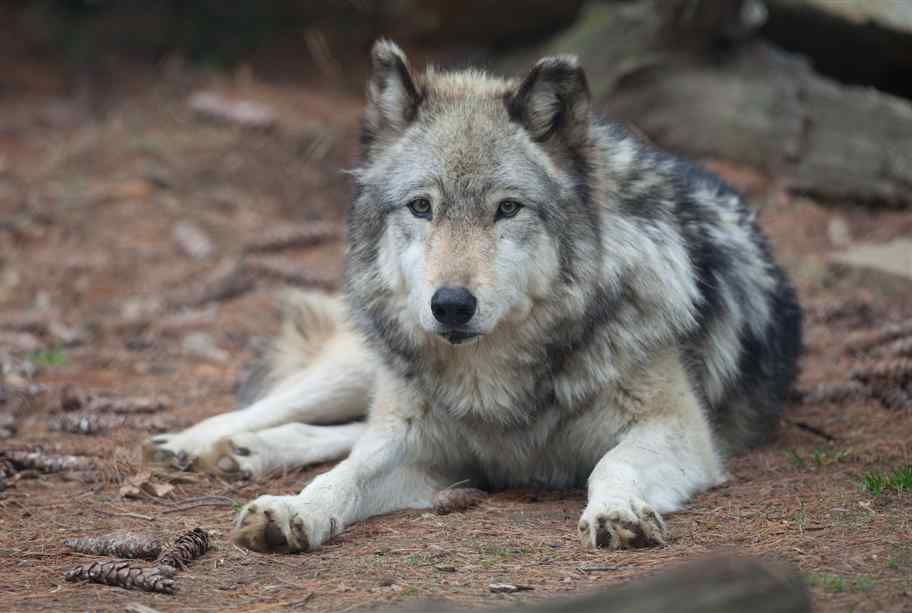 Gray Wolf Pictures In The Wild