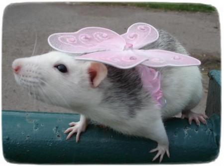 Hairless Rats As Pets
