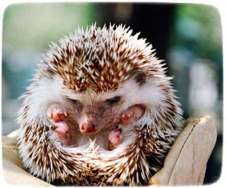 Hedgehog As Pets In Georgia
