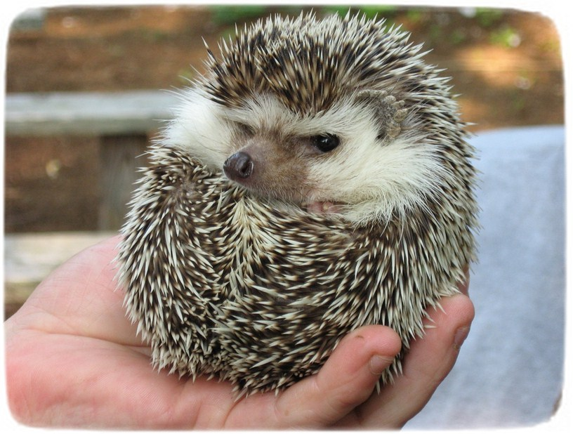 Hedgehog As Pets In Pa