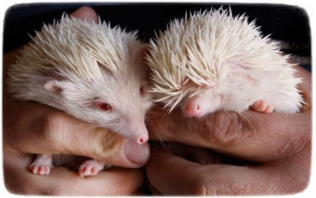 Hedgehog As Pets Uk