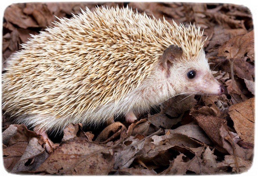 Hedgehogs As Pets Cages