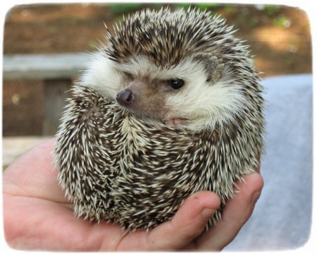 Hedgehogs As Pets In Pa