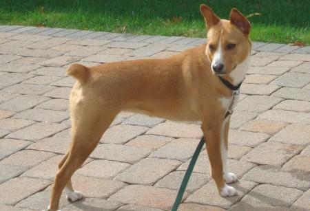 Hypoallergenic Dogs Basenji