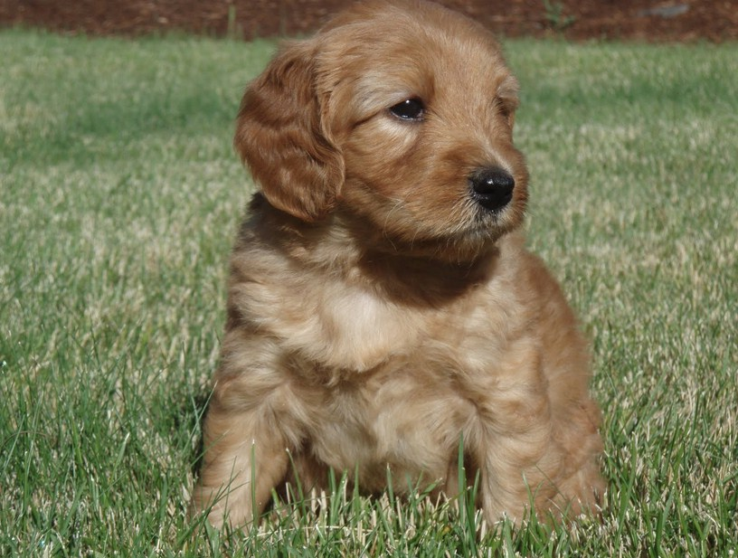 Hypoallergenic Dogs Labradoodle