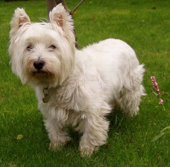 Hypoallergenic Dogs Pictures