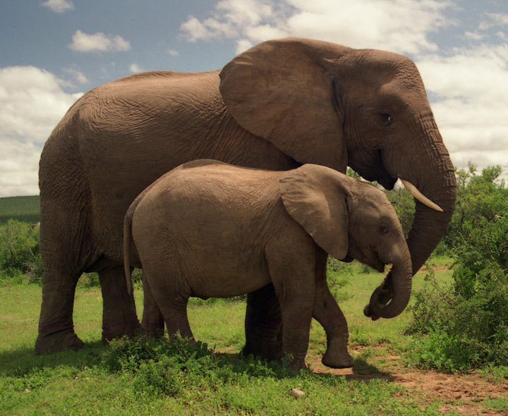 Images Of African Bush Elephant