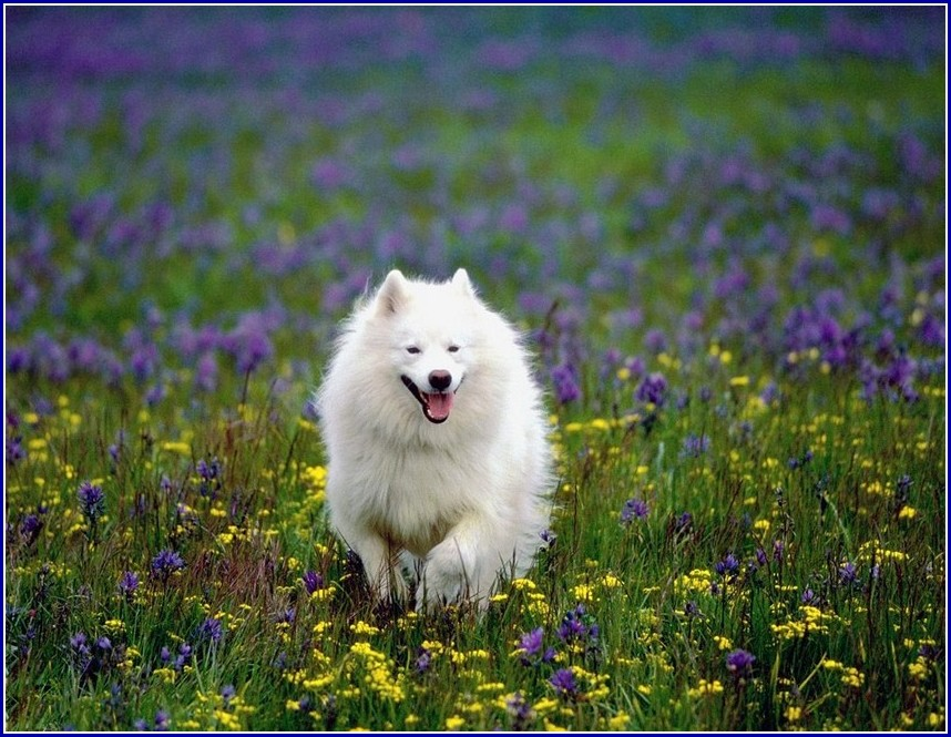 Images Of American Eskimo Dogs