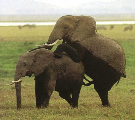 Images Of Elephants Mating