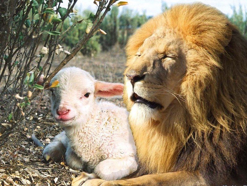 Images Of Lions And Lambs