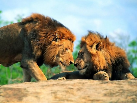 Images Of Lions In Africa