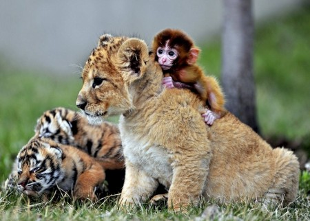 Images Of Tigers Cubs