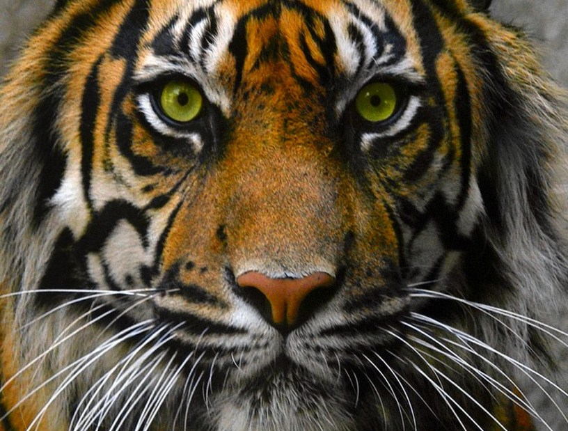 Images Of Tigers Eyes