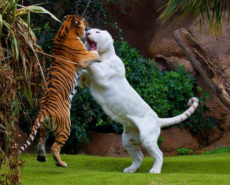 Images Of Tigers Fighting