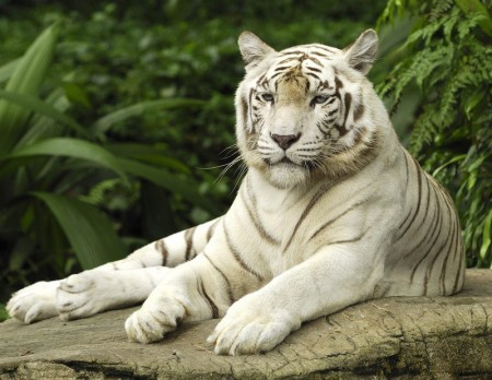 Images Of Tigers For Kids