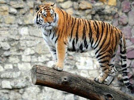 Images Of Tigers In The Wild