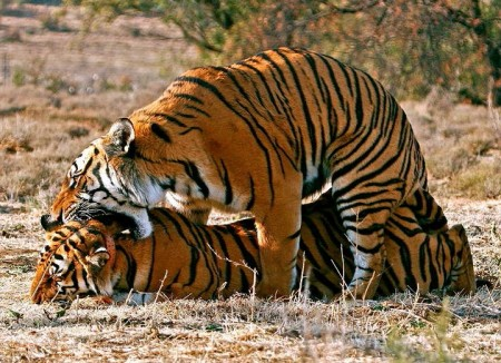 Images Of Tigers Mating