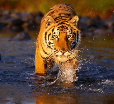 Images Of Tigers Walking