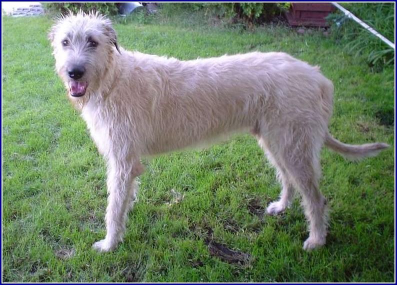 Irish Wolf Dog Puppies