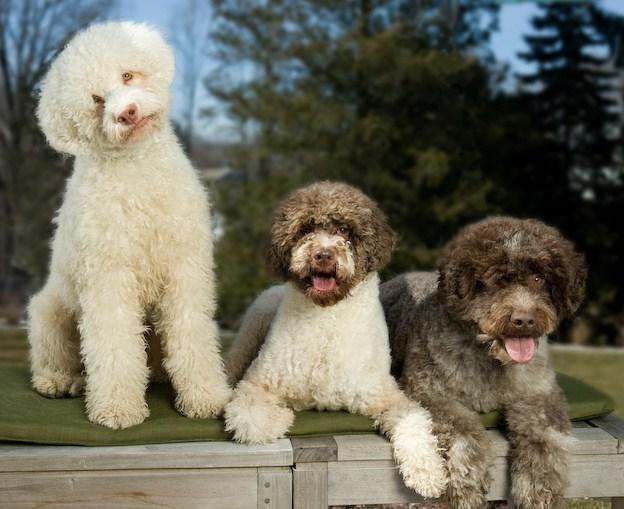 Italian Dog Breeds Lagotto
